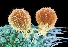 Норма лімфоцитів в аналізі крові