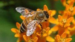Апіс - препарат, створений на основі екстракту медоносної бджоли