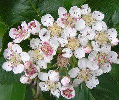 Квіти аронії