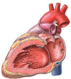 Серце при ендокардиті