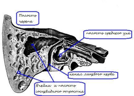 Анатомія соскоподібного відростка скроневої кістки