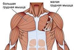 М'язи грудей