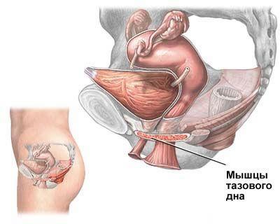 М'язи тазового дна
